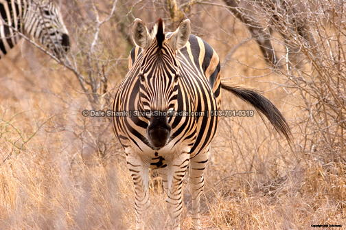 Plains Zebra - South Africa